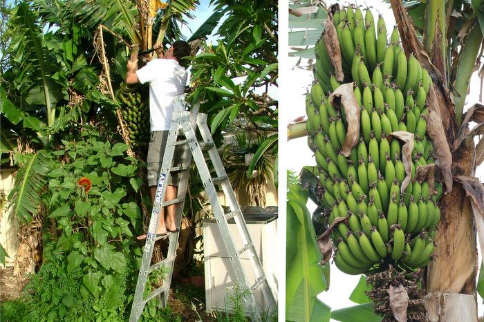 Growing Backyard Bananas by Little Eco Footprints