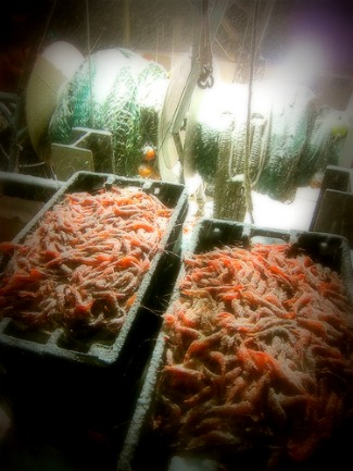 shrimp harvest