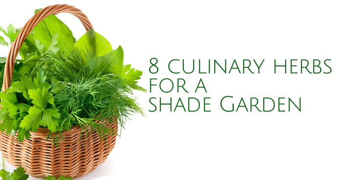 Culinary Herbs You Can Grow