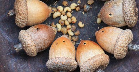 What is that? – Holey acorns & Nut weevil larvae