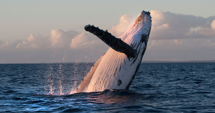 pacific-whale-foundation-maui-humpback-breaching