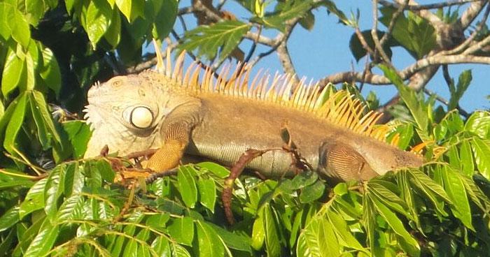 iguana-tortuguero